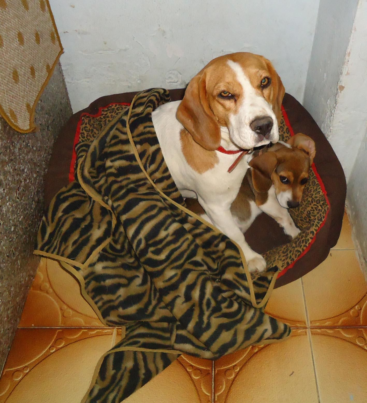If It S Not Food We Re Too Tired Beagle Beagle Puppy Doggy