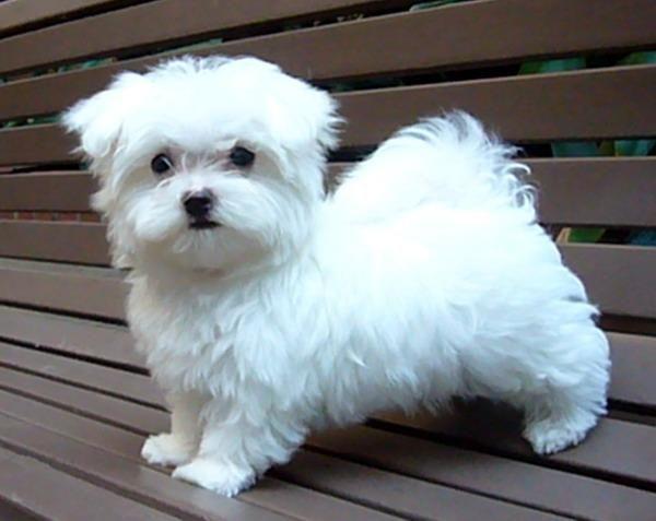 Maltese My Life Pinterest Maltese Dogs Maltese Dog Breed