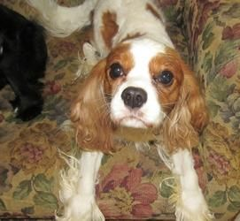 Adopt Duke Adopted On Small Dog Adoption Cavalier King Charles Spaniel Dog Adoption