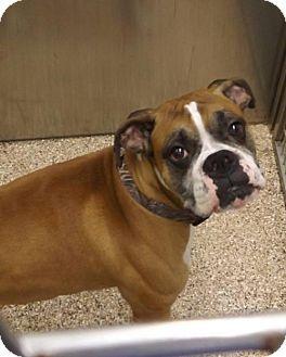 Martinsburg Wv Boxer Meet Diesel A Dog For Adoption Http