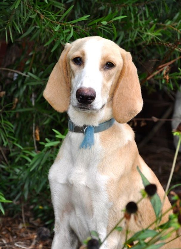 Adopt Daisy On Treeing Walker Coonhound Your Dog Homeless Dogs