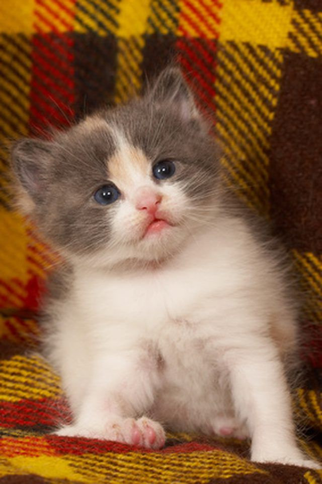 Even young kittens can quickly infested with fleas