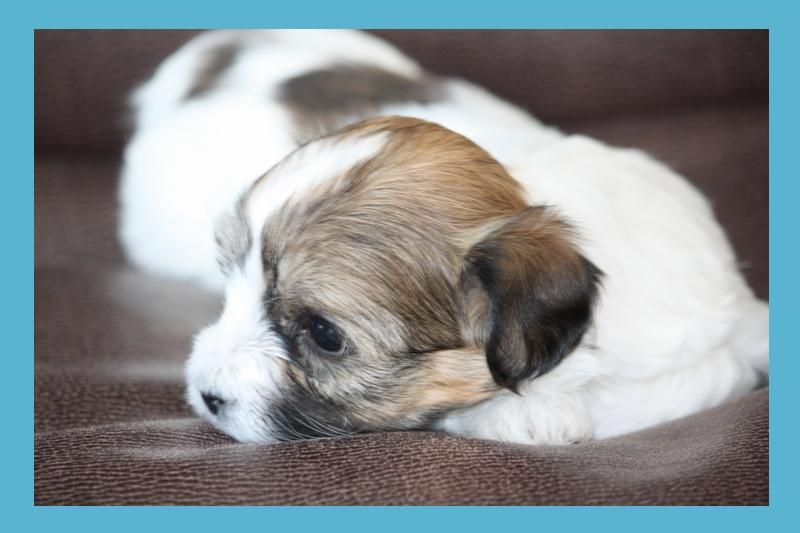 Breed Info Teacup breeds, Hypoallergenic puppies, Animals