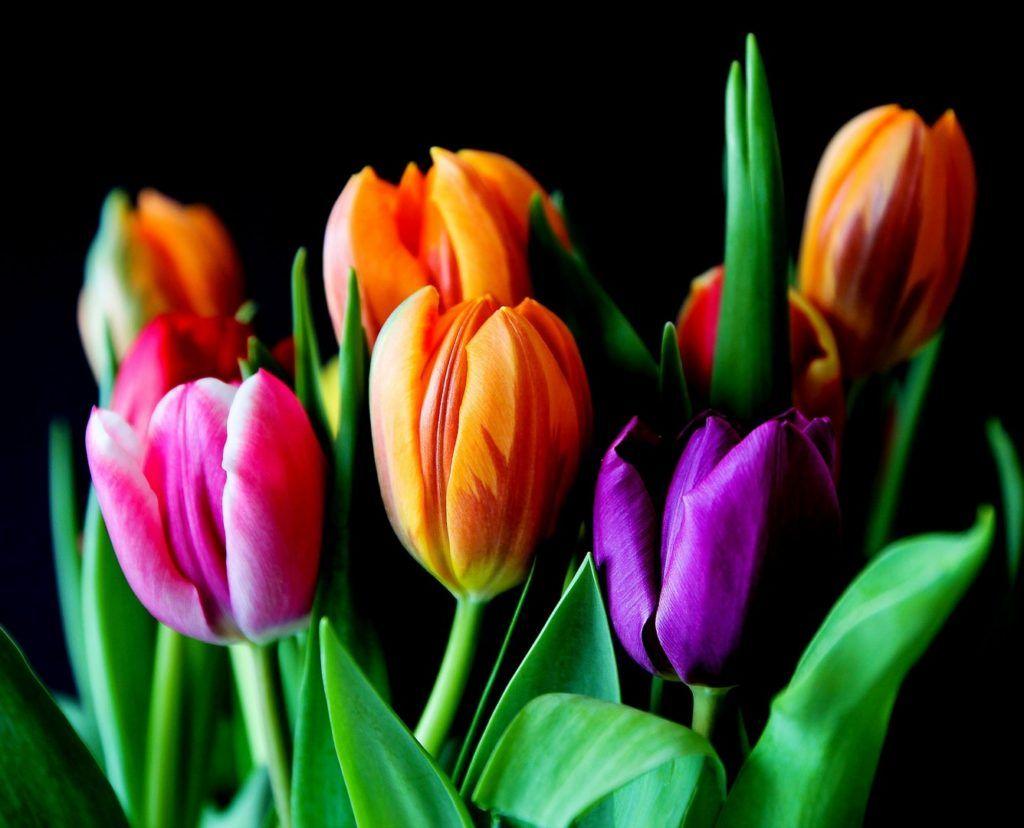خلفيات الوان بجودة Hd خلفيات ملونة 2019 Tecnologis Tulips Flowers Planting Tulips Tulips