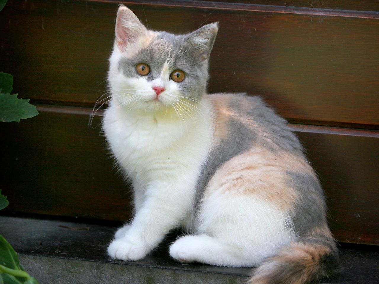 British Shorthair Dilute Calico Cats Wild Cat Breeds Cats And