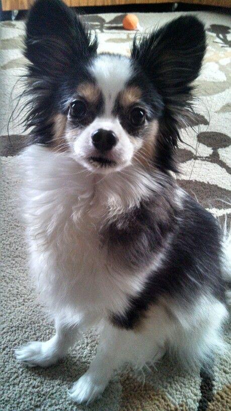 Fantastic Papillon Canine Adorable Dog - 7fe58c3c9e145e11578a44add70f5367  HD_32562  .jpg