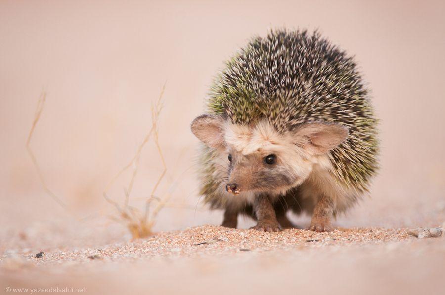 Desert Hedgehog By Yazeed Alsahli Via 500px Cute Hedgehog