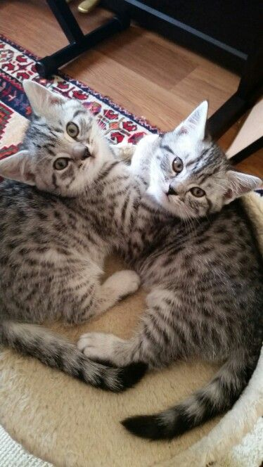 Hermes Lollipop Silver Spotteds British Shorthairs Cats And