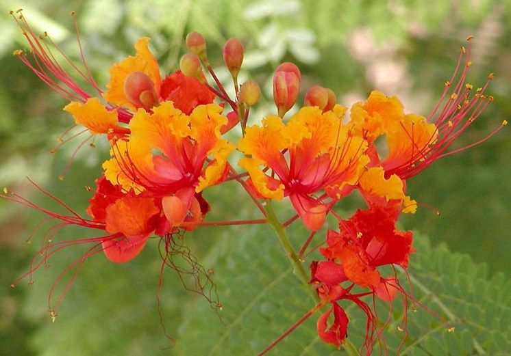 Dwarf poinciana red orange yellow flower landscaping pinterest dwarf poinciana red orange yellow flower mightylinksfo