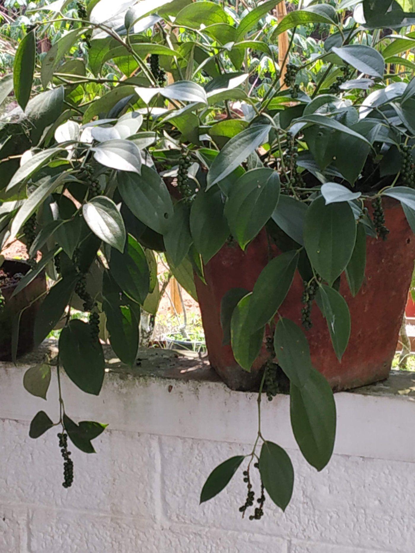 Learn Growing Bush Pepper In Pots In 2020 Pepper Plants 400 x 300