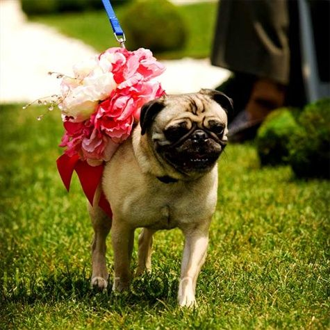 Wish The Pugs Could Be A Part Of The Wedding Dog Wedding Real