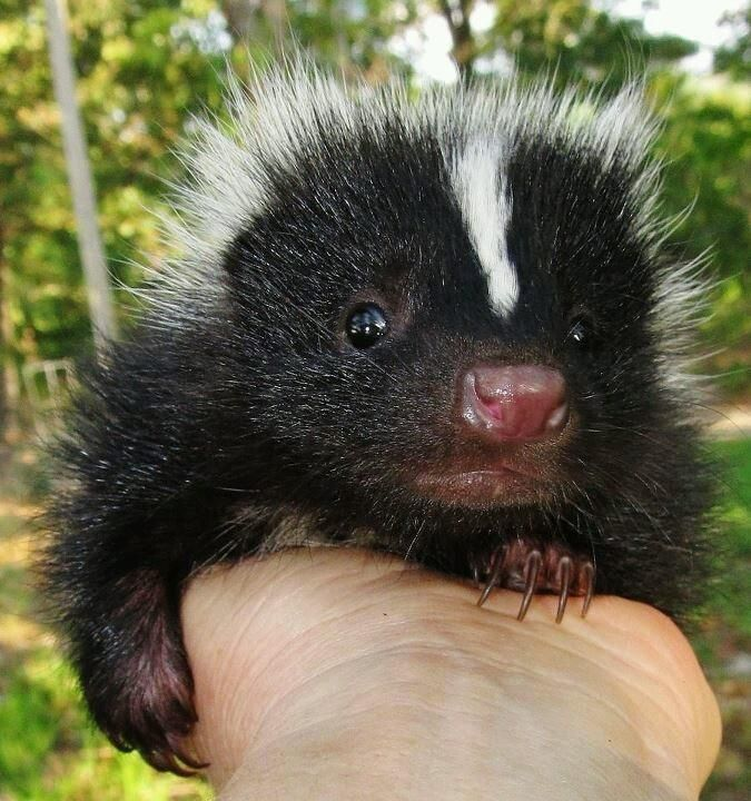 Bare foot closeup picture of skunk