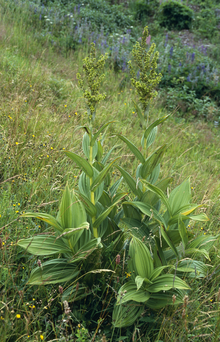 Rosliny Trujace Wikipedia Wolna Encyklopedia Plants Garden Home And Garden