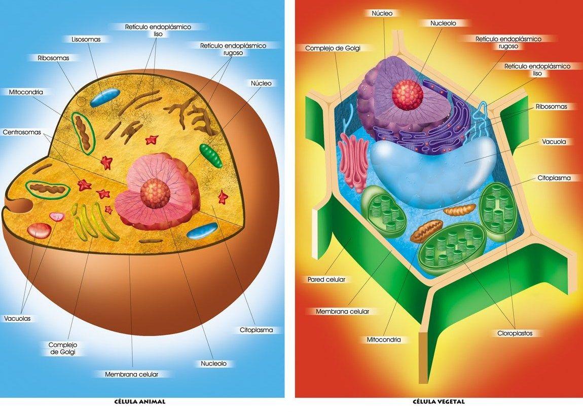 Aprender Y Divertirse Todo En Uno Mami Cómo Son Las Célula Animal Célula Vegetal Dibujos De Celulas