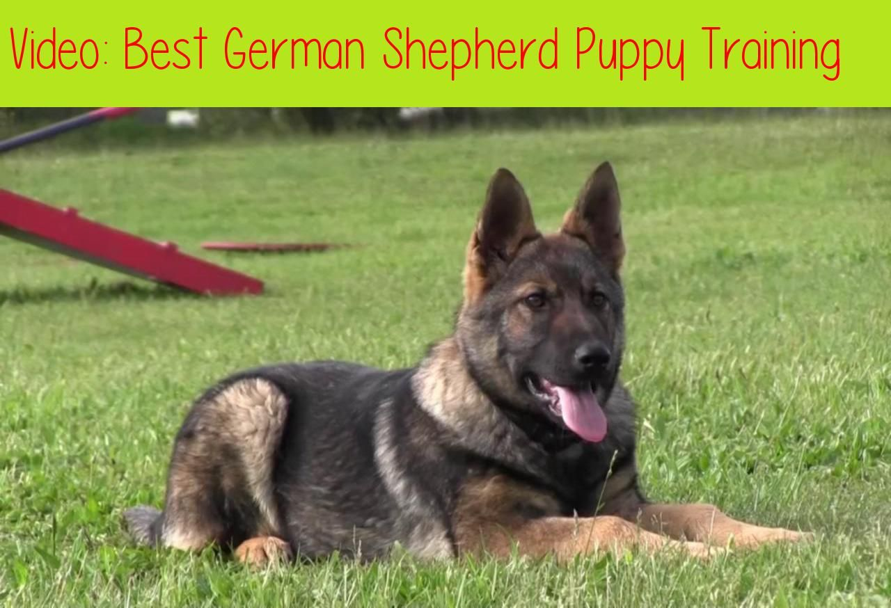 Best German Shepherd Puppy Trainingvisit Our Website For More