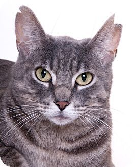 Chicago Il Domestic Shorthair Meet Cuddles A Cat For Adoption Http Www Adoptapet Com Pet 16063942 Chicago Cat Adoption Why Do Cats Purr Cats
