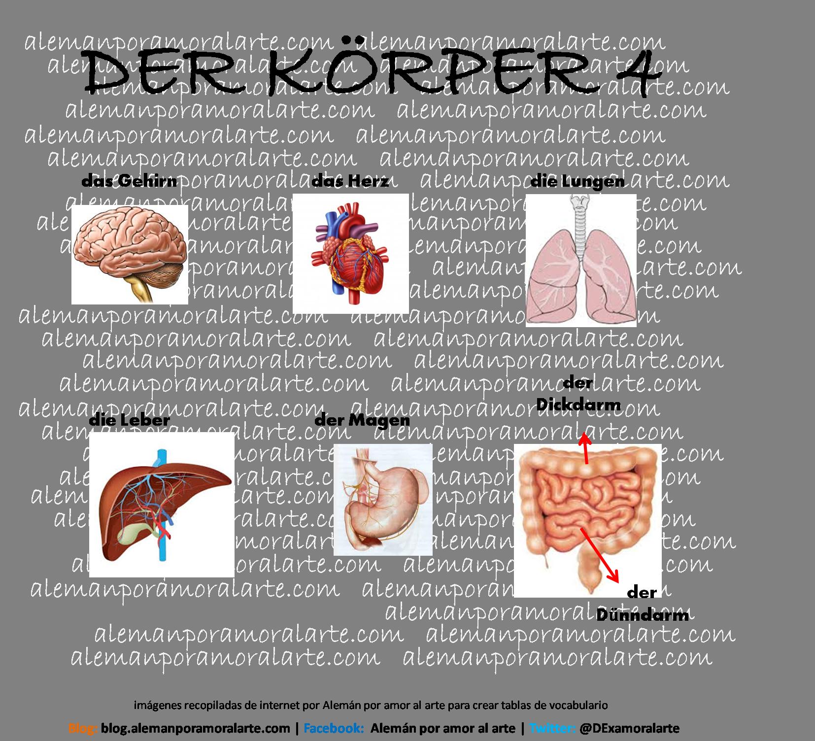 Algunos órganos vitales del cuerpo humano | Deutsch | Pinterest ...