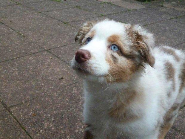 Amazing Lady Von Der Hirschbach Australian Shepherd Aussie Dogs Dog Facts