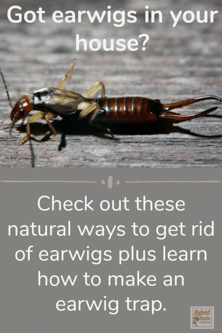 Natural Pest Control For Earwigs Earwigs Getting Rid Of Earwigs Natural Pest Control