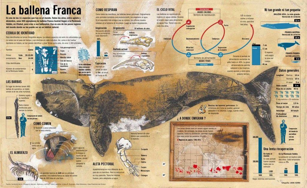 La ballena Franca. Jaime Serra | ILUSTRACIÓN | Infografía ...