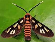 Black Thorax Wasp moth (Amata trigonophora) - Yahoo Image Search Results