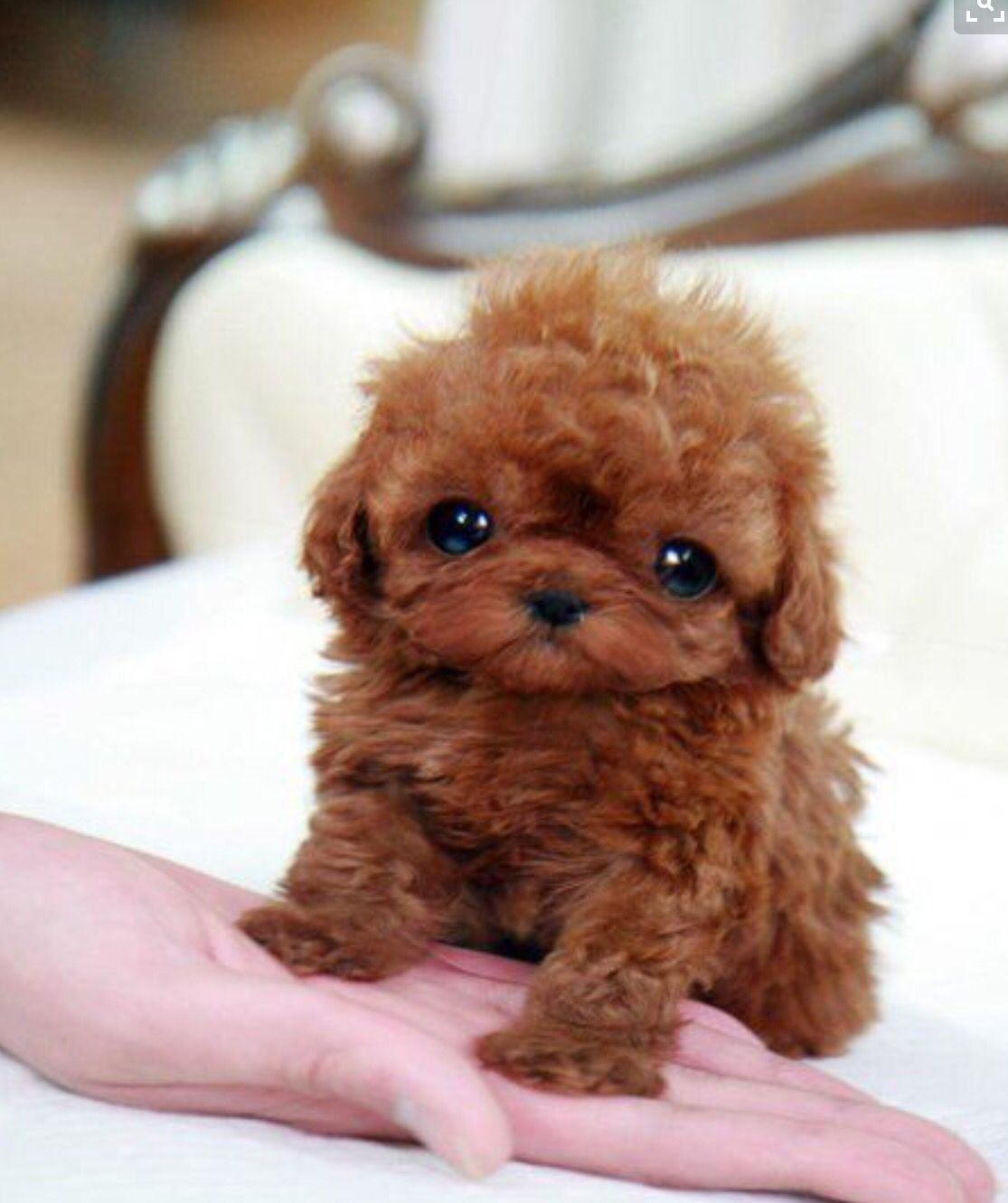 As much as this tea cup puppy is cute the way they get