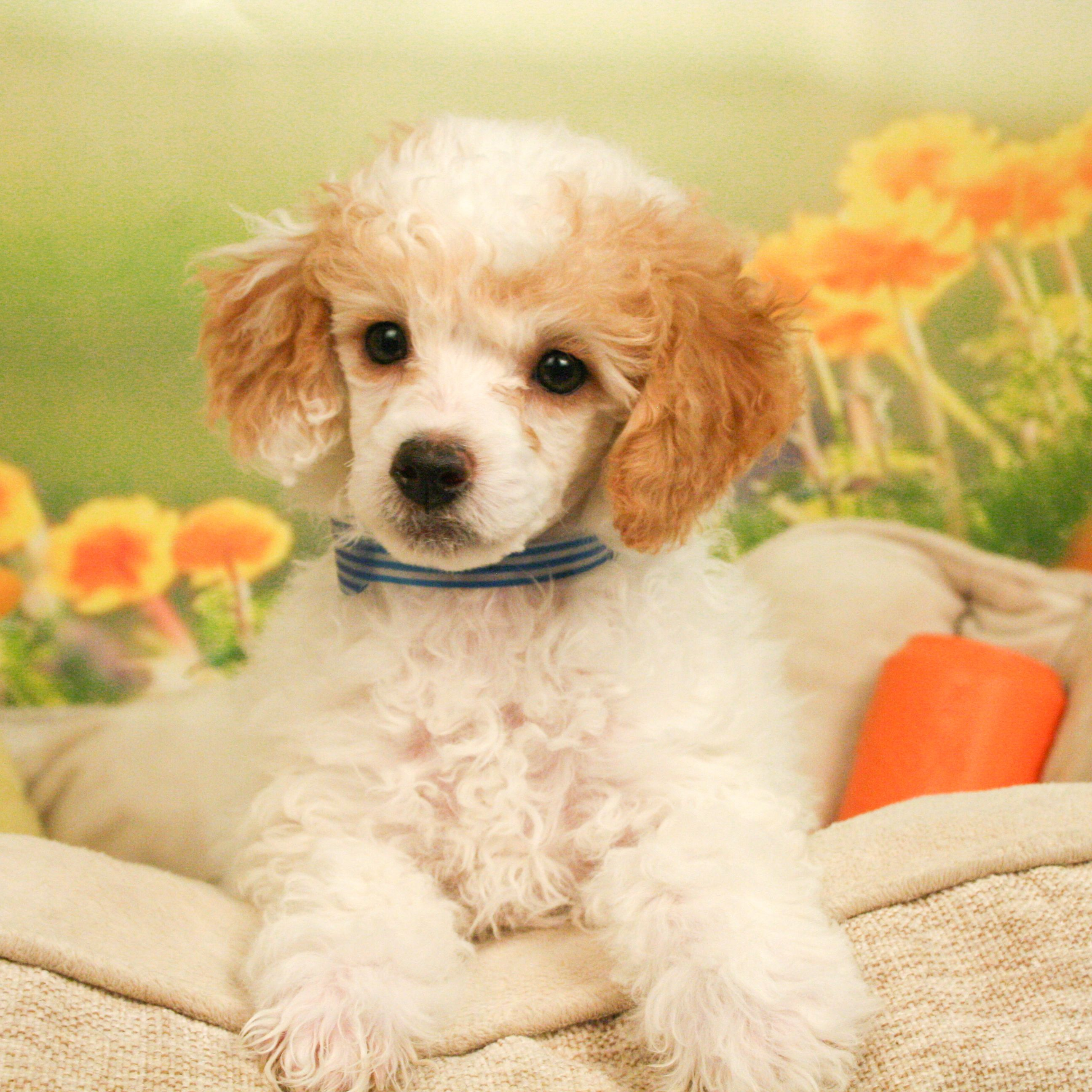 Standard Poodle Puppies For Sale Poodle Puppy Poodle Puppy Standard Poodle Puppies For Sale