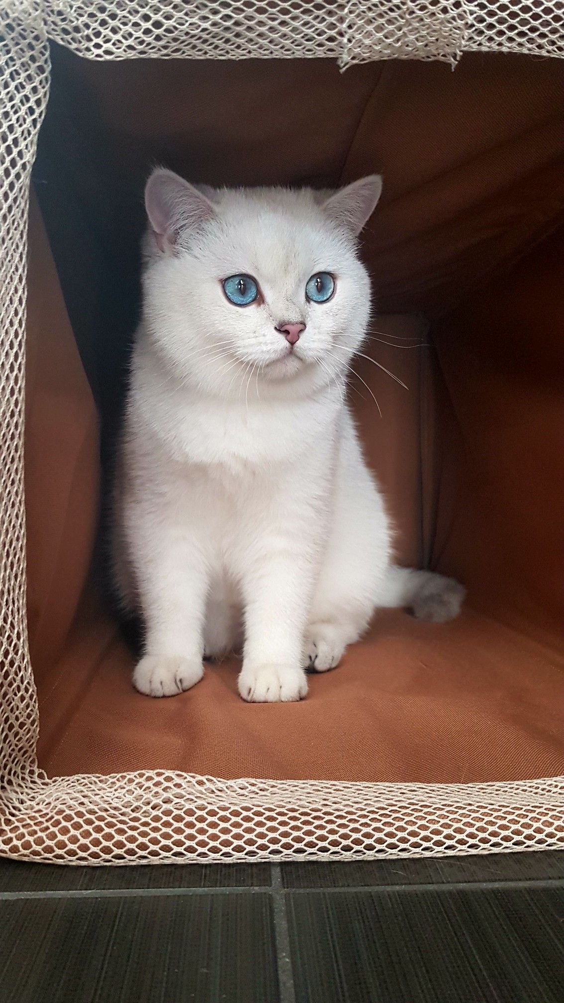 Pin By Denis On Marzipan Silver Shade British Shorthair Blue Eye