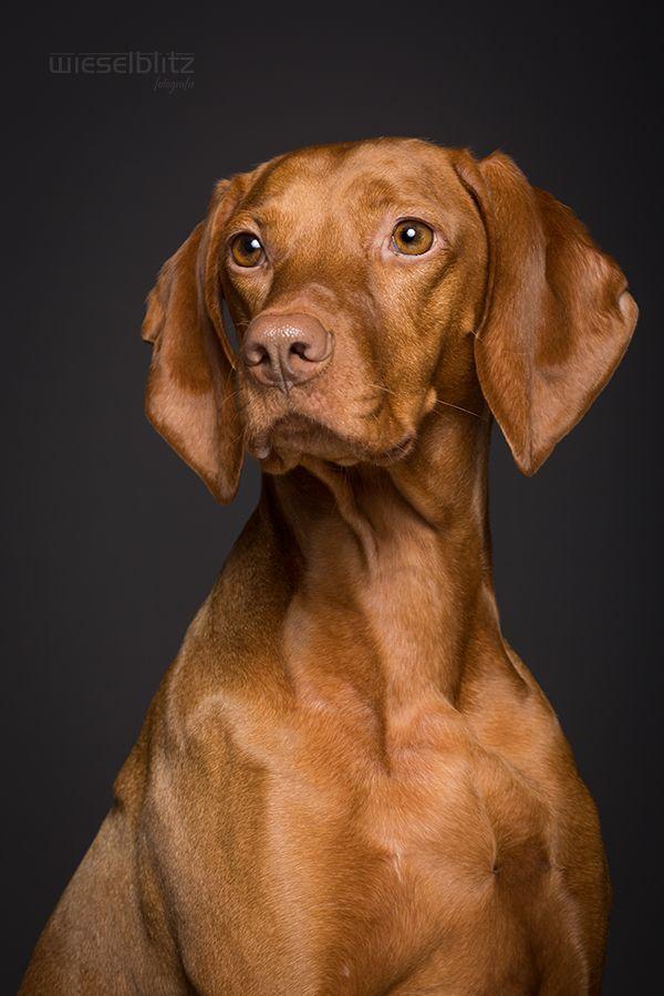 Magyar Vizsla Commercial Pet Photography By Elke Vogelsang