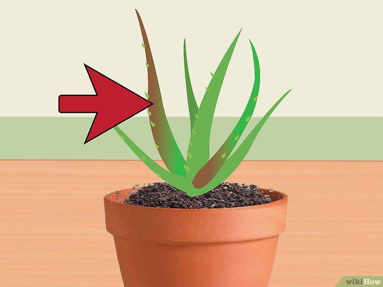raviver un pied d 39 aloe vera mourant aloe vera plante. Black Bedroom Furniture Sets. Home Design Ideas