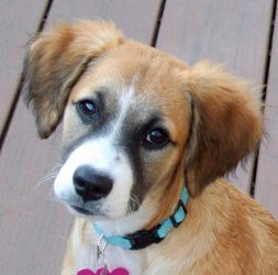 Adopt Stella On Australian Shepherd Dogs Mixed Breed Puppies Shepherd Mix Dog