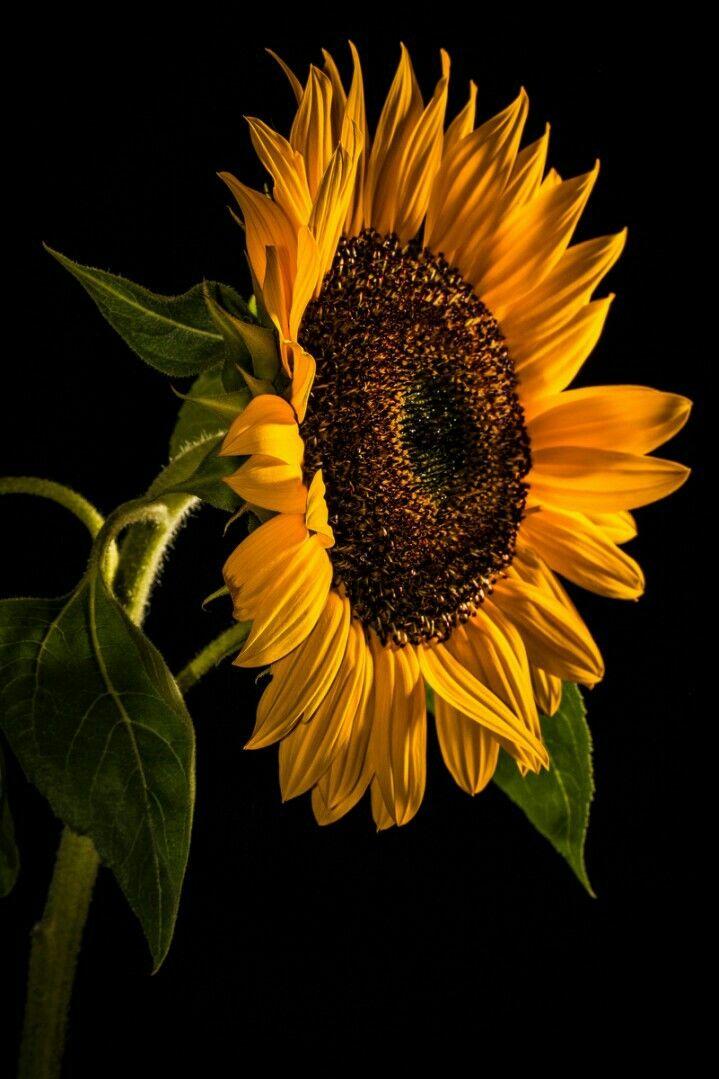 Pin By עדי ברק סובול On Imagens Sunflower Iphone Wallpaper Sunflower Wallpaper Iphone Wallpaper Tumblr Aesthetic