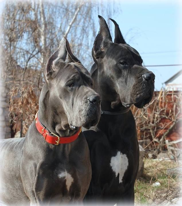 Great Danes Great Dane Dogs Dogs Puppies Black Great Danes