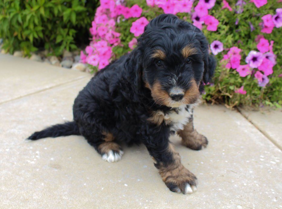 Jet Bernedoodle puppie for sale at Fort Wayne, Indiana