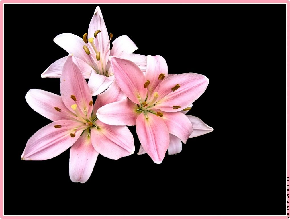 fleur lys lys trio 1 fleurs pinterest fleur lys lys. Black Bedroom Furniture Sets. Home Design Ideas