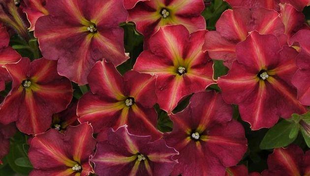 New Flowers Vegetables Herbs Edibles Garden Edible Garden Annual Flowers Petunias