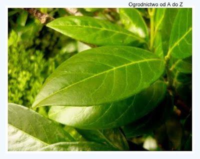 Ogrodnictwo od A do Z: Laurowiśnia wschodnia- Prunus laurocerasus