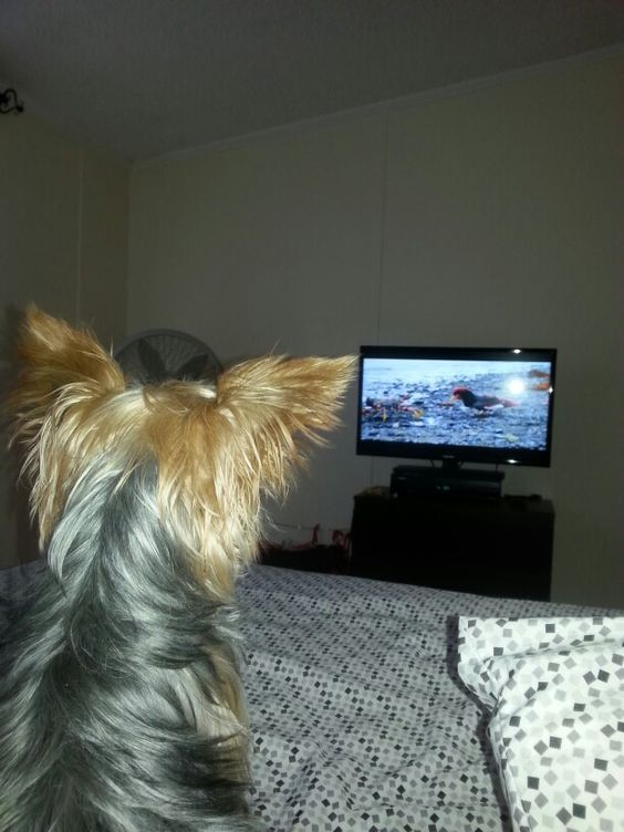 Image result for tv yorkie