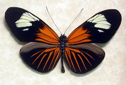 Poisonous Red Postman Heliconius Erato Real Butterfly 8022 Butterfly Frame Butterfly Beautiful Butterflies