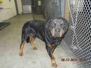 Urgent Medley Fl Founddog 6 17 14 Rottweiler 1 Year Old Male