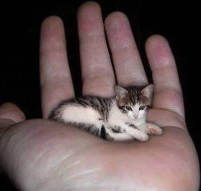 แมวท ต วเล กท ส ดในโลก ช อว า Perkin ก นเนสบ คลงสถ โลกไว เม อป 2004 เป นแมวท พบในร ฐอ ล นอยส สหร ฐอเมร กา ม นำหน กเ Tiny Cats Small Pets Small Kittens