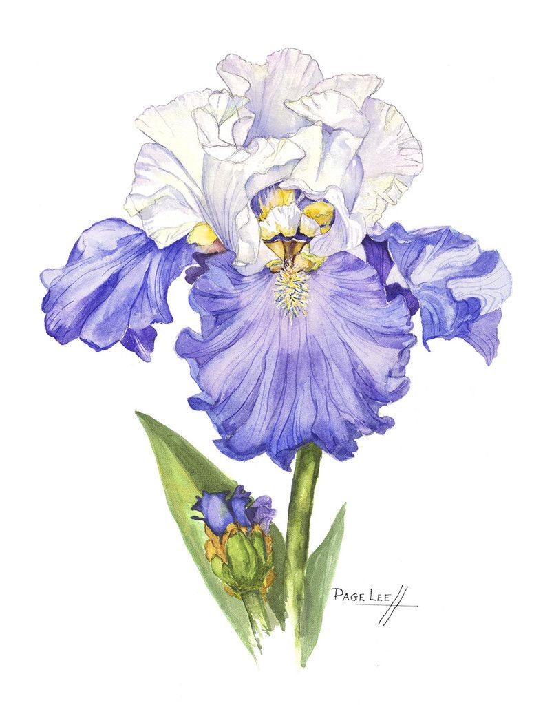 Blue and White Sultan Iris // Page Lee Hufty Iris