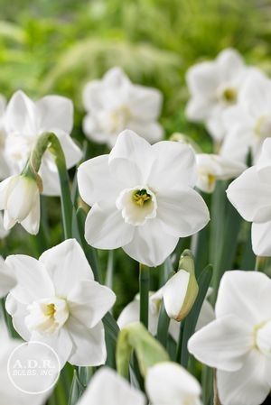 Narcissus White Lion White Lion Is A Fragrant Gardenia Like Naturalizer Introduced Back In The 1940s This Highly Awar Narcissus Flower Bulb Flowers Narcissus