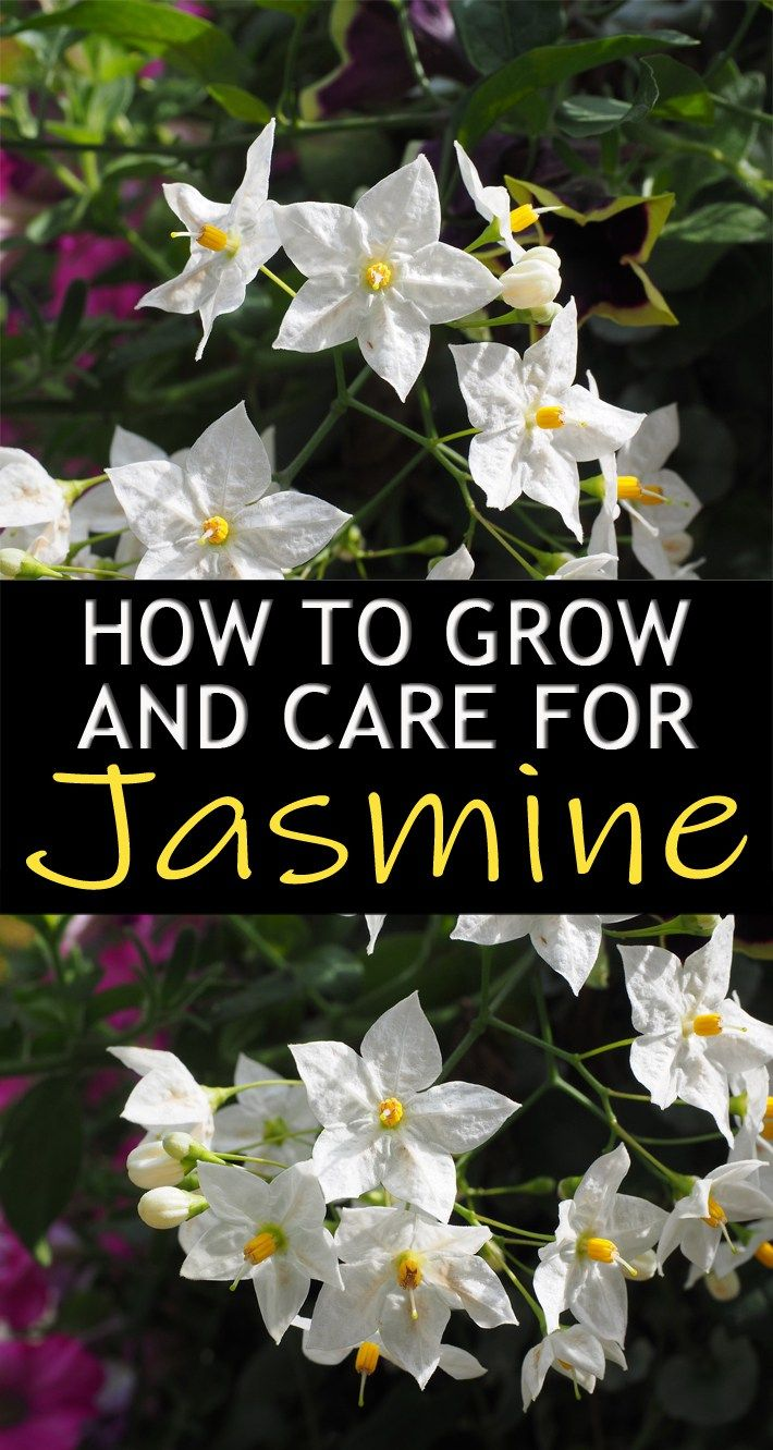 How To Grow And Care For Jasmine My Great Outdoors Pinterest