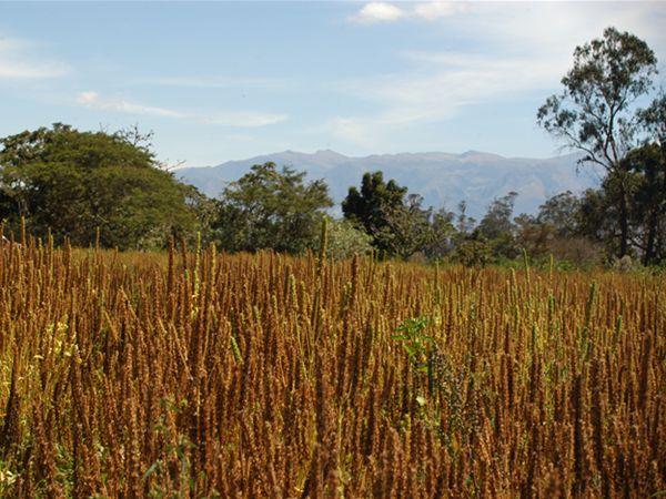 Chia-Pflanzen-Feld in Argentinien