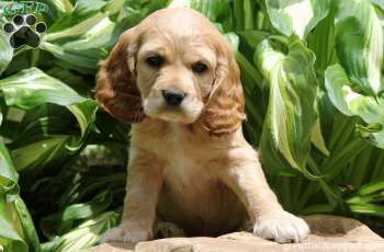 Toelettatura Cocker ~ Marble cocker spaniel puppy for sale from allenwood pa