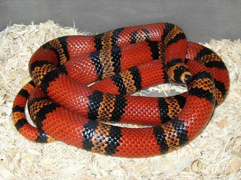 honduran milk snake Google Search Milk snake