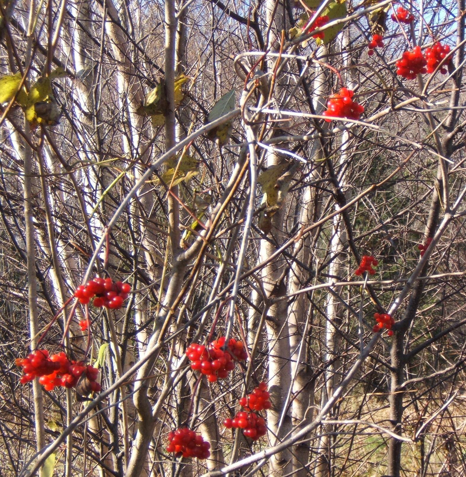 highbush cranberry vibernum trilobum marsh winter gardens