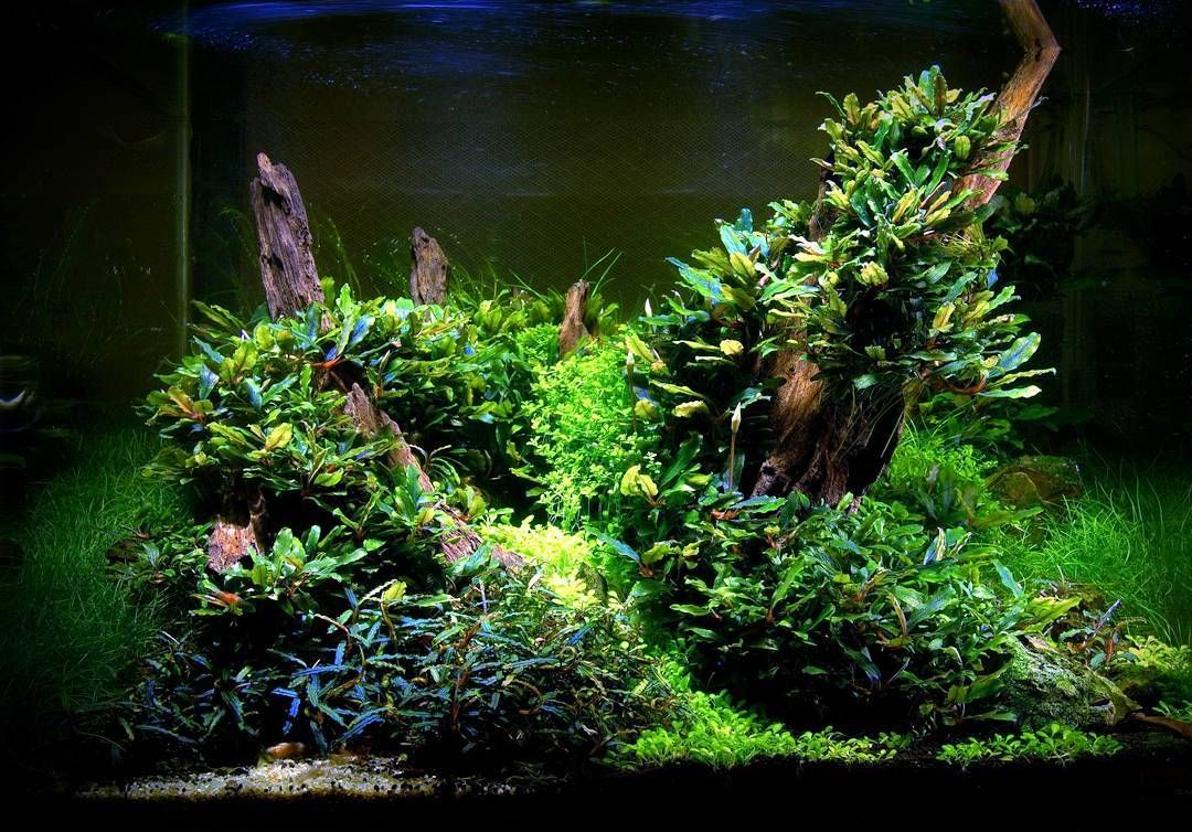 buce under lowish light jimmy aqua pinterest aquarium
