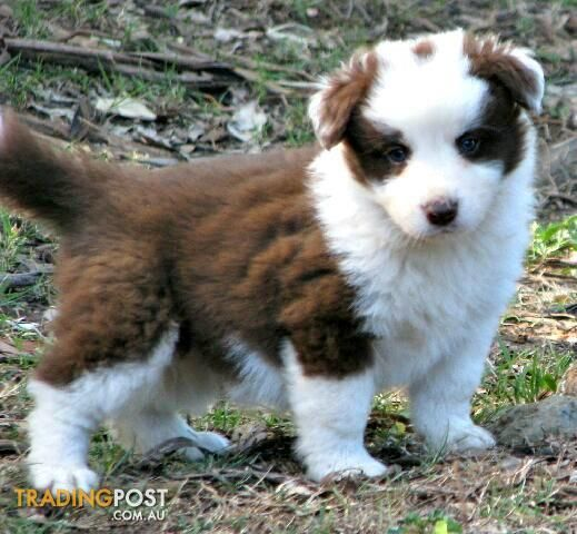 Chocolate Border Collie Puppies High Quality For Sale In Mount